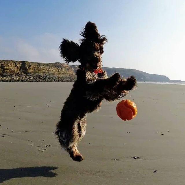 La plage de Wimereux sous le soleil et du lâcher-prise : c'est le combo gagnant de 📷@ruby.the_cocker ! 😀  #autopcotedopale #Wimereux #dogoftheday #pasdecalaistourisme #hautsdefrancetourisme #seaside #happytime #cocker
