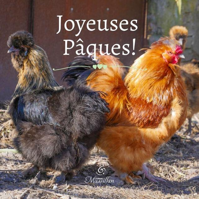 Dans notre potager, il y a aussi nos jolies poules ! Et quelle meilleure image en ce jour de Pâques où vous allez vous régaler d'oeufs en chocolat ? Toute l'équipe du Château de Massillan vous souhaite une belle journée des joyeuses Pâques !