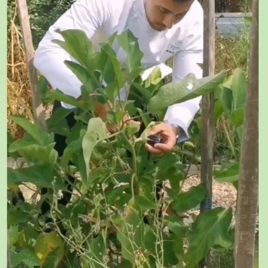 Du potager à l'assiette, au @chateaudemassillan c'est le quotidien du Chef @mickael.furnion Grâce au travail formidable de @damientourre, notre jardinier. Un potager si luxuriant qu'il nous permet aussi d'alimenter une amap. . . #provence #bioaddict #foodlover #besttables #bestproducts #tomates #aubergine #fleurdecourgette #potager #cooking #chef #chefslife #michelinstar #michelinstars #chefs #restaurantenprovence #restaurant #avignon #vaucluse #uchaux Com & RP @real.communication