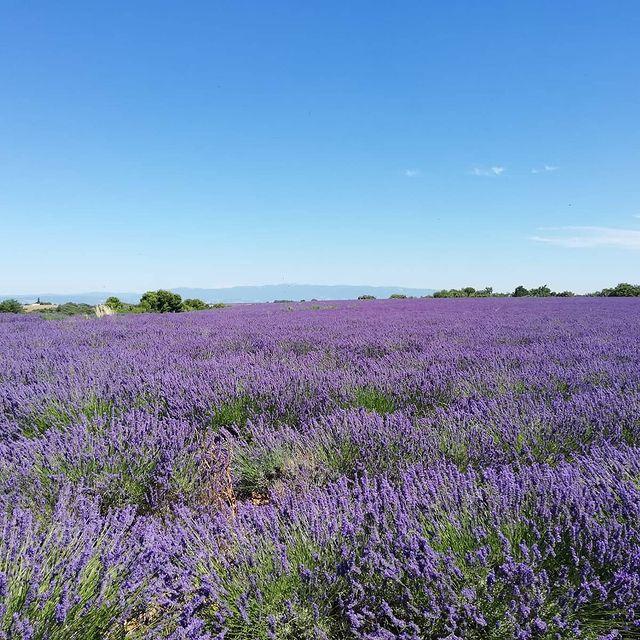 Le mois de juillet est LE moment parfait pour faire une sortie à la journée en Provence pour admirer les champs de lavande 😍 L'avez-vous déjà fait ?  ************************* July is the perfect time of the year for a day trip in Provence, to admire the beautiful lavander fields 😍 Did you already see them?  #hotel #monsigny #hotelmonsigny #provence #lavande #valensole #cotedazurfrance #nicefrance #nicecotedazur #ilovenice #frenchriviera #nofilter