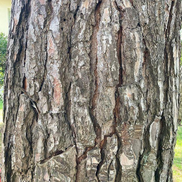 Le saviez-vous ? Le pin est un arbre aux multiples vertus : antiseptiques, expectorantes, diurétiques... et en plus il est beau et majestueux 😌