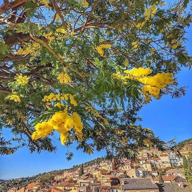 Le jaune est le symbole de la gaieté, du soleil et de la richesse. Quel plaisir d'admirer ces floraisons de mimosas ! • Yellow is the symbol of good cheer, sun and wealth. What a joy it is to admire this mimosa blossom! 💛💛  📸 @stephanecleret  #MiramarBeachHotel #TheouleSurMer #FrenchRiviera #SmallLuxuryHotels #BoutiqueHotel #Discover #Mimosa